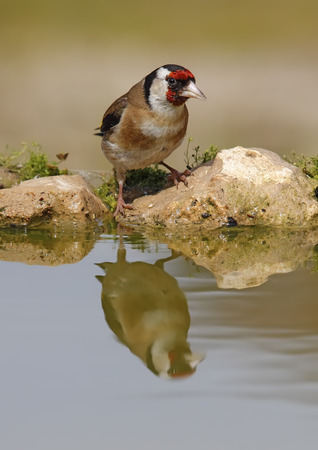 Goldfinch in its natural habitat unnoticed posing with their beautiful colors Stock Photo