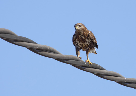 Common Buzzard in freedom with blue sky background