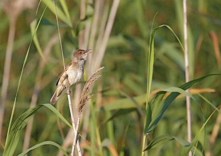 great reed warbler in freedom and in its natural habitat Stock Photo