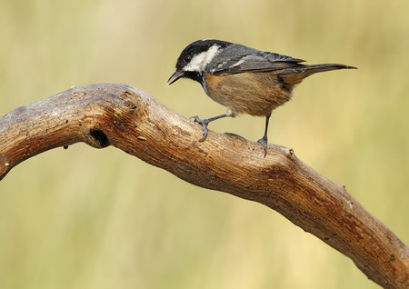 coal tit with unfocused background in their natural environment Stock Photo