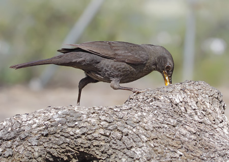blackbird in the foreground with unfocused background in their habitat Stock Photo