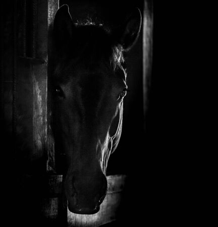 portrait in black and white of a horse head staring at us behind the door of the stable with a back light