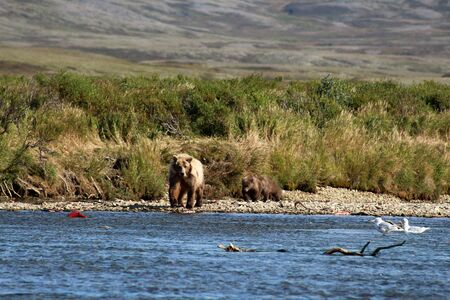 Alaska, grizzly bear catching salmon in a river