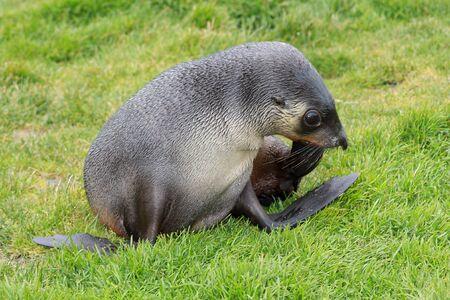Fur seals in Fortuna Bay, South Georgia