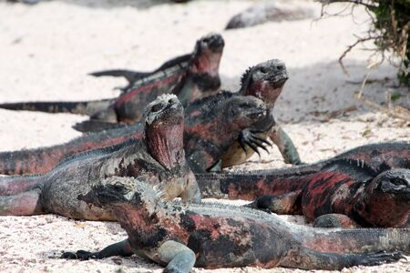 Marine iguana on the beach sunbathing, Galapagos Island, Ecuador