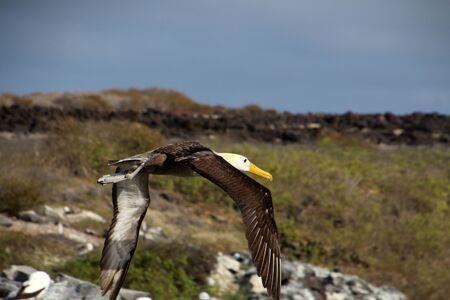 Albatross in the Galapagos Islands, Ecuador, South America