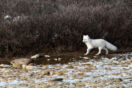 Arctic fox on the tundra of Hudson Bay, Manitoba, Canada, Manitoba
