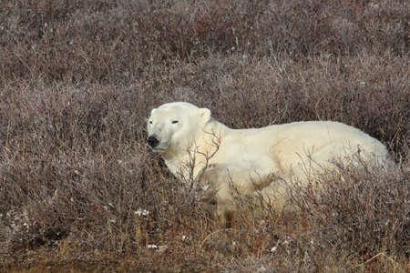 Polar bear on the tundra of Hudson Bay, Manitoba, Canada
