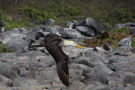 Masked Booby Punta Suarez on Isla Espanola, which is a large breeding area for these birds Stock fotó