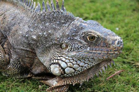 Iguana in the grass, Guayaquil, Ecuador Stock Photo