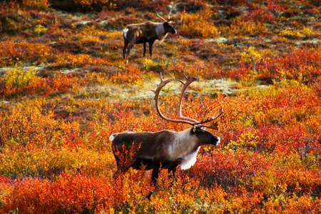 Alaska, reindeer in Denali National Park in autumn