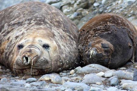 Elephant seals on Pourquoi Pas Island, Antarctica