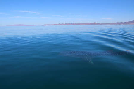 Whale shark Baja California Sur, Mexico