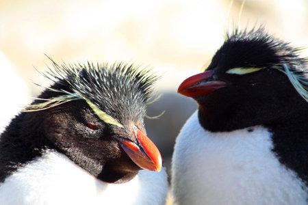 Rockhopper penguin New Island, Falkland Islands, Malvinas