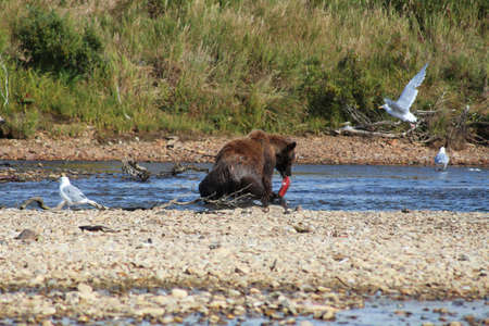 Grizzly bear catching salmon in a river, Alaska