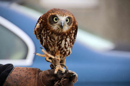 Brown Hawk Owl on a hand of a falconer at Skaill House Mainland, Orkney, Scotland