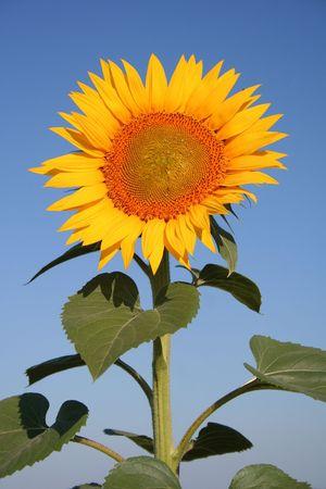 fruitage: sunflower on field