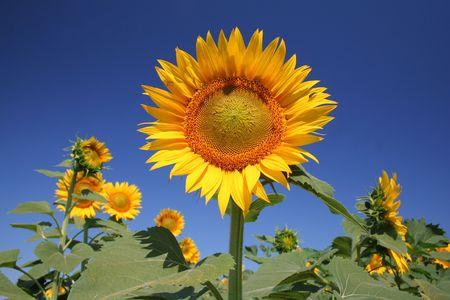 sunflower on field