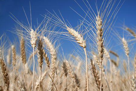 martyrdom: field of wheat