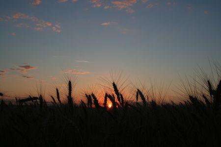 wheat field on sunset photo