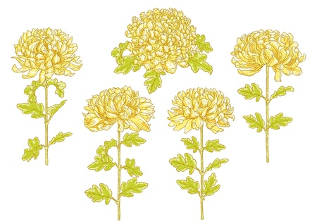 Set of 5 hand-drawn chrysanthemum flower, isolated on white background Illustration