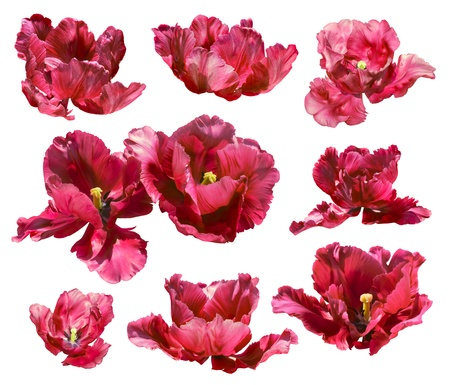 Collection of coral red tulips isolated on white background  Clipping path  photo