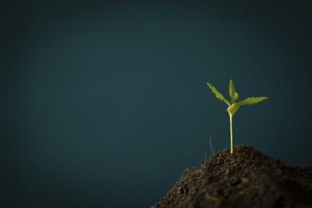 Eine kleine Pflanze von Cannabissämlingen im Stadium der Vegetation, die in den Boden gepflanzt wurde, einen schönen Hintergrund, der in einem Indoor-Marihuana angebaut wird