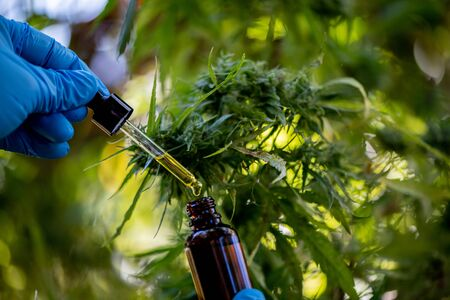 Doctors hold a bottle of hemp oil, marijuana products for medical use, including hemp leaf, cbd, and Hemp CBD oil capsules.