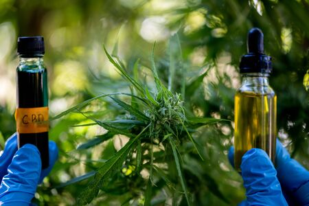 Doctors hold a bottle of hemp oil, marijuana products for medical use, including hemp leaf, cbd, and Hemp CBD oil capsules.