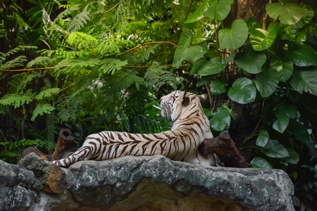 White tiger is resting on the rock