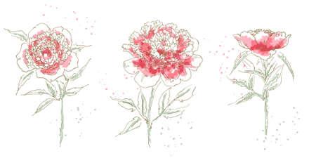 Three drawn peony isolated on white