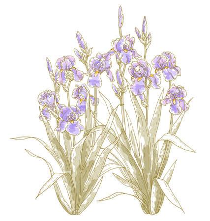 Vector drawn iris bush on white background   Illustration