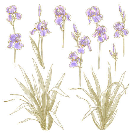 Collection of  drawn iris flower