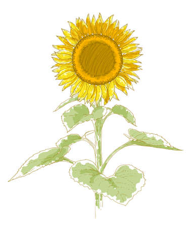 Hand-drawing sunflower  Isolated on white background  Watercolor and pen imitation