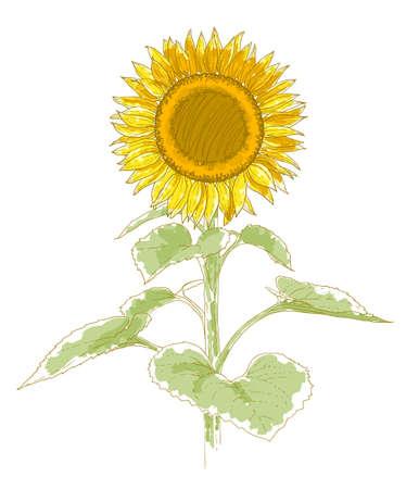 zonnebloem: Hand-tekening zonnebloem geïsoleerd op een witte achtergrond Aquarel en pen imitatie Stock Illustratie