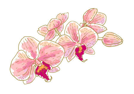 pink orchid: Branch of orchids isolated on white background Illustration