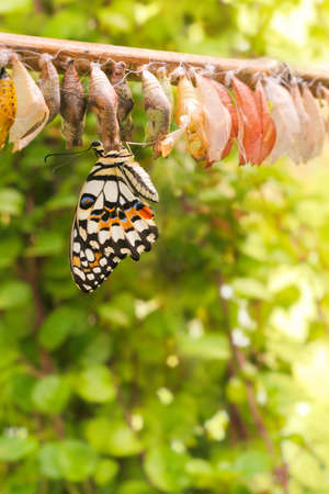 Pasgeboren vlinder op haar cocon Stockfoto