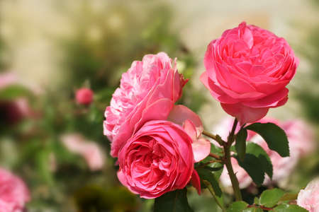 Three pink roses on blurred background  Can be used as background for post card Stock Photo - 14132563