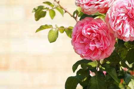 Three pink roses on bright blurred background  Can be used as background for post card  Stock Photo - 14132564