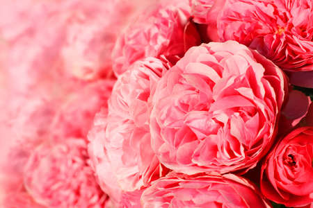 Background with many pink roses  Can be used as background for post card  Stock Photo - 14132566