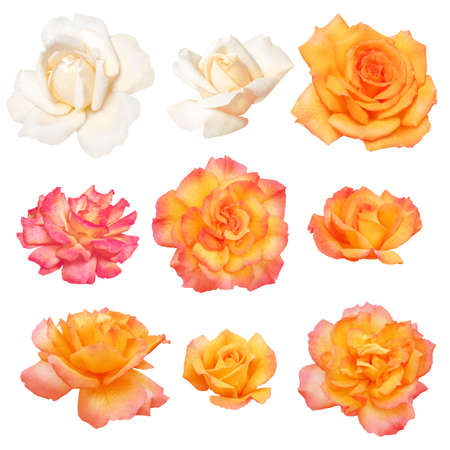 Collection of white and orange roses isolated on white background   Clipping path Stock Photo - 14396228