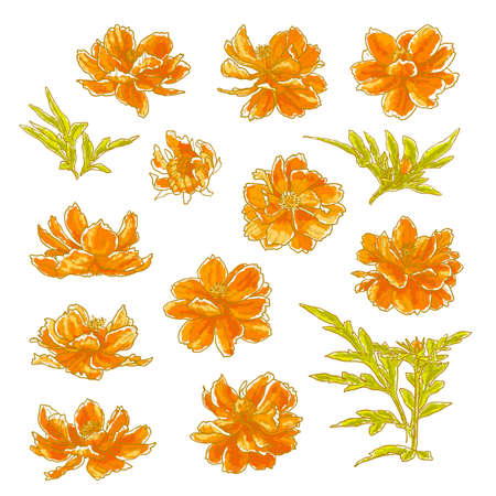 Collection of vector drawn cosmos flowers in watercolor style  Isolated on white background  Vector