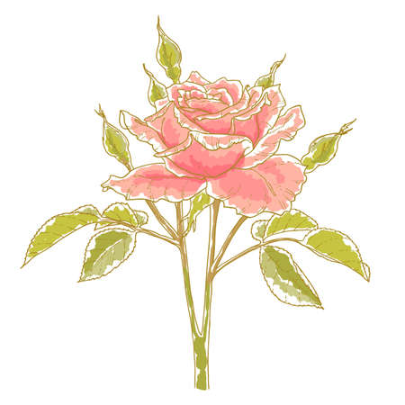 Pink rose with leaves, isolated on a white background  Design element