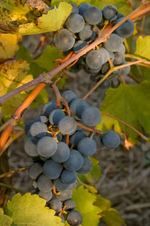 Bunch of black ripe wine grapes on the vine in a field Stock Photo - 15687070