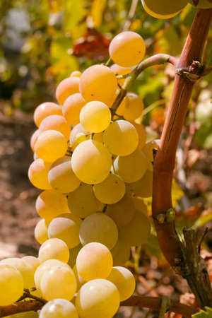 muscat: Bunch of green ripe wine grapes on the vine in a field Stock Photo