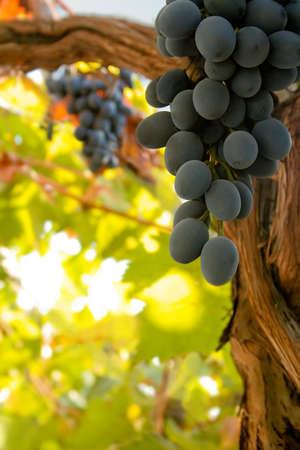 필드에서 포도 나무에 검은 잘 익은 와인 포도의 무리 스톡 콘텐츠