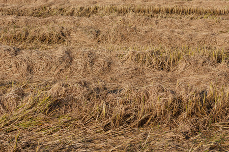 paddies: Post-harvest dry rice paddies field