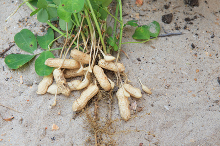 sandy soil: peanut plant on sandy soil background in farm