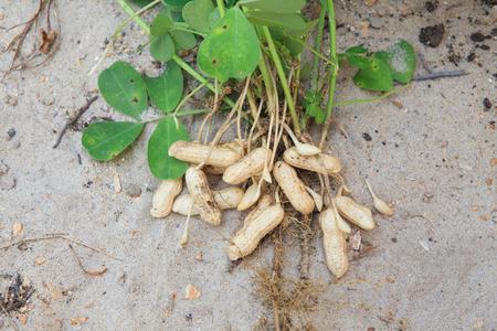 sandy soil: impianto di arachidi su sfondo terreno sabbioso in fattoria