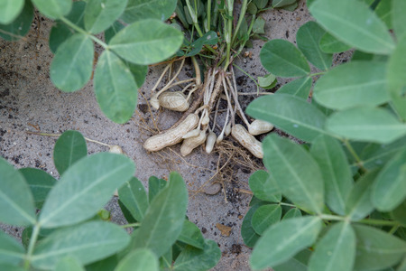 Sandy soil: planta de man� cosecha en segundo plano suelo arenoso en granja
